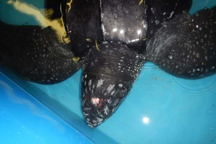 Yawkee Leatherback Turtle 2015 03 10