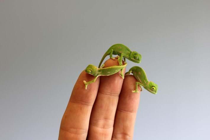 Chameleon-4-2015-3-10
