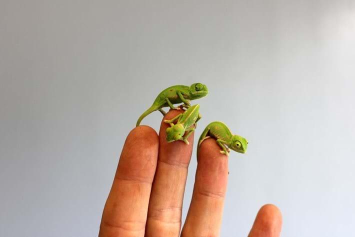 Chameleon-5-2015-3-10