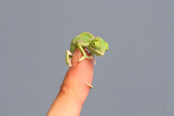chameleon-8-2015-3-10