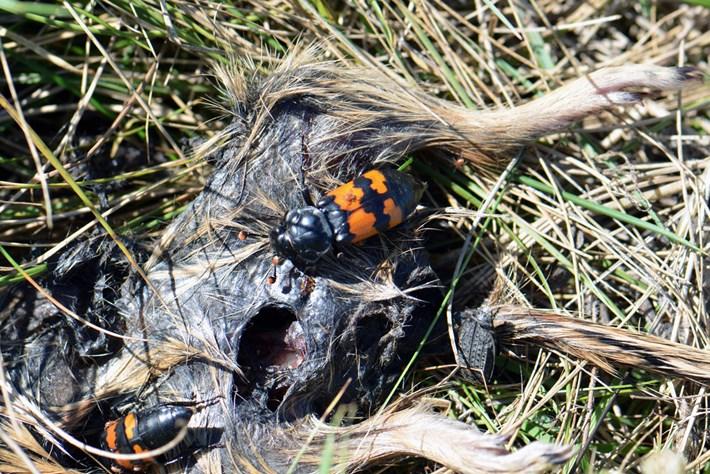 Carrion -burying -beetles _2015_03_11