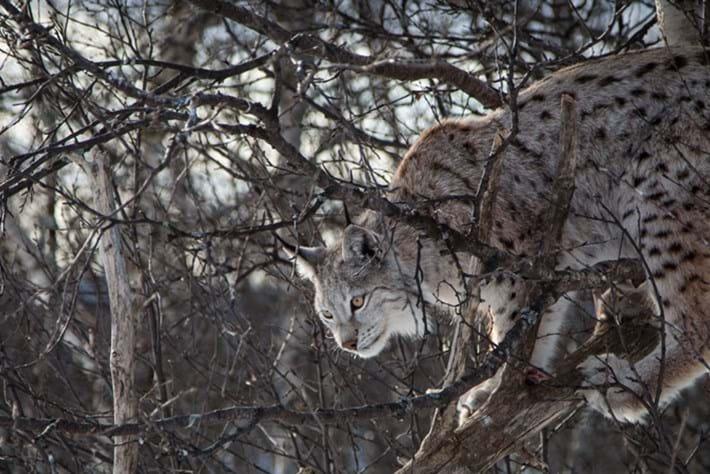 Eurasian -lynx _2015_03_12