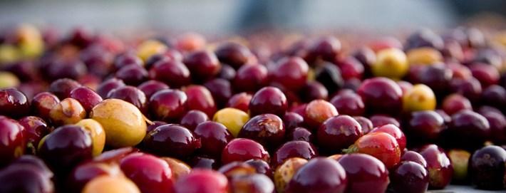 Coffee Cherries 2015 03 13