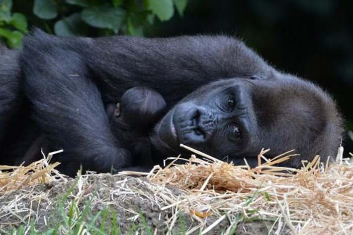 baby gorilla-2015-3-17