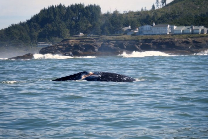 whale-scarback-2015-3-17
