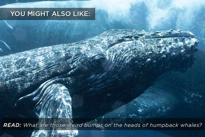 Humpback Whales Bumps Related Content 2015 03 20