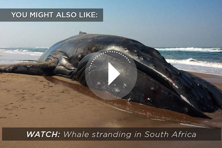 Durban Whale Stranding Related Content 2015 03 23