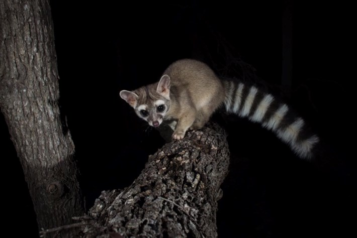 ringtailed cat-page-2015-3-25