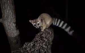 America's stunning ring-tailed cats caught on camera