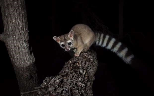 Ring-tailed cats live in America – and they're amazing!